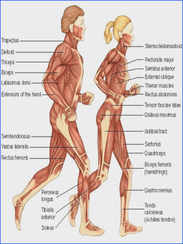 The Human Muscular System During Running