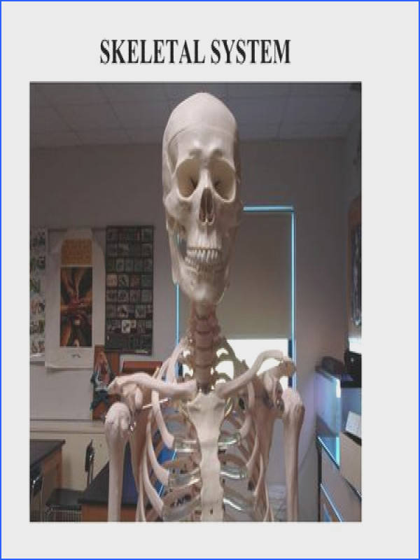 SKELETAL SYSTEM Functions of the Skeletal System Bones are made of OSSEOUS TISSUE Support and