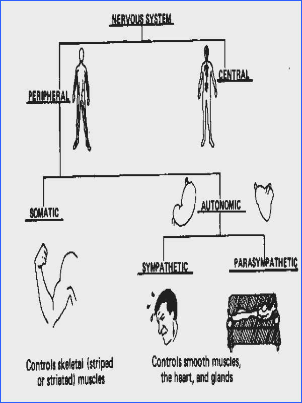 Somatic nervous system the division of the peripheral nervous system that control s the body s skeletal muscles Autonomic the part of the peripheral