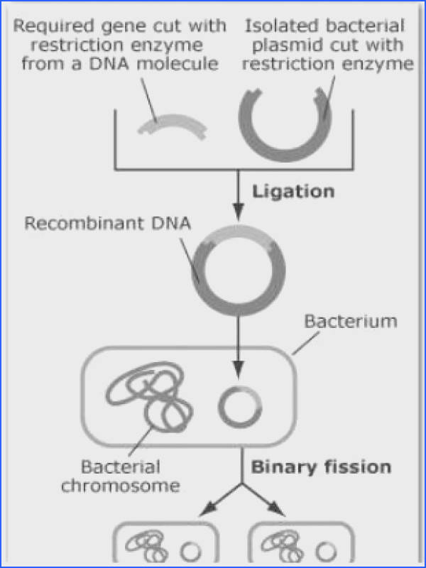 Steps in producing re binant DNA