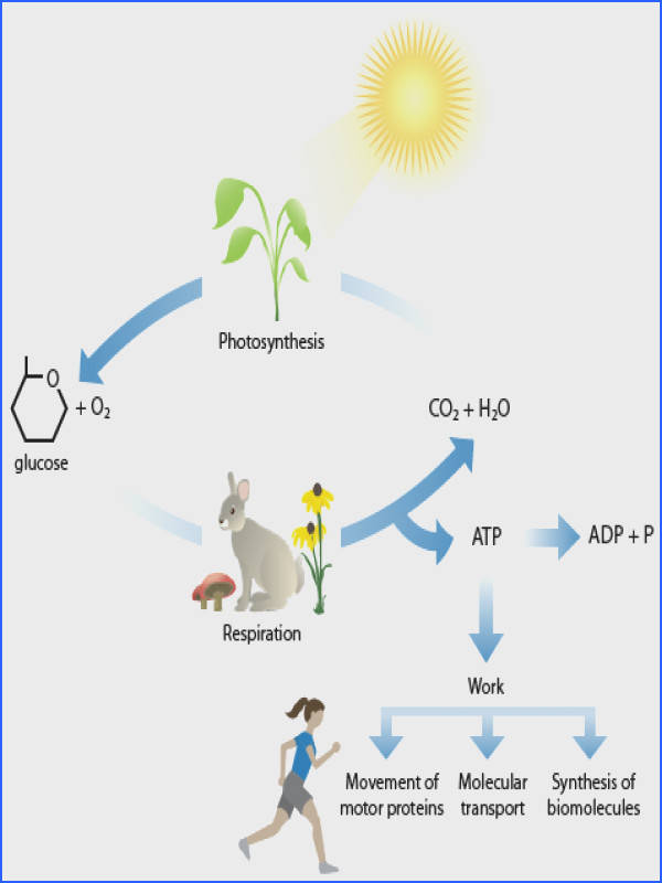synthesis Cellular Respiration Cycle
