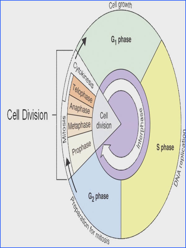 worksheets the cell cycle coloring worksheet answers cell cycle mitosis worksheet answers intrepidpath
