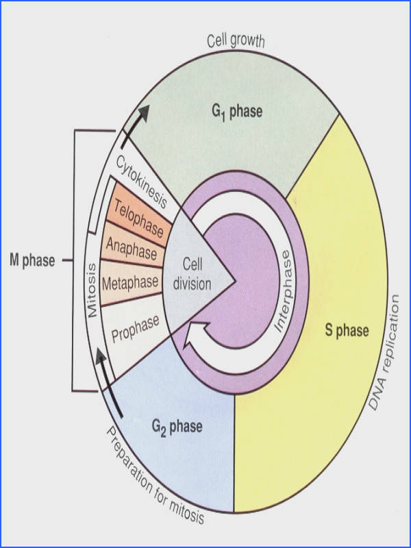 the cell cycle coloring worksheet cell cycle m phase lessons tes teach free