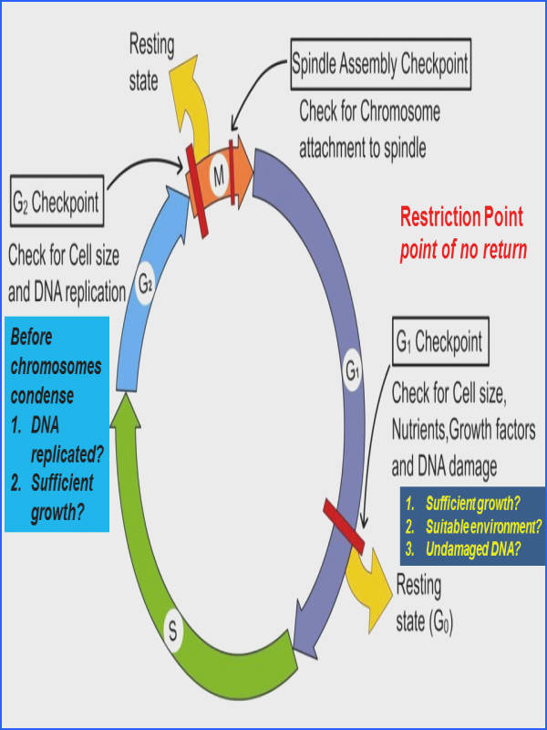 plete your Cell Cycle Worksheet by noting down the control exerted information found in this image
