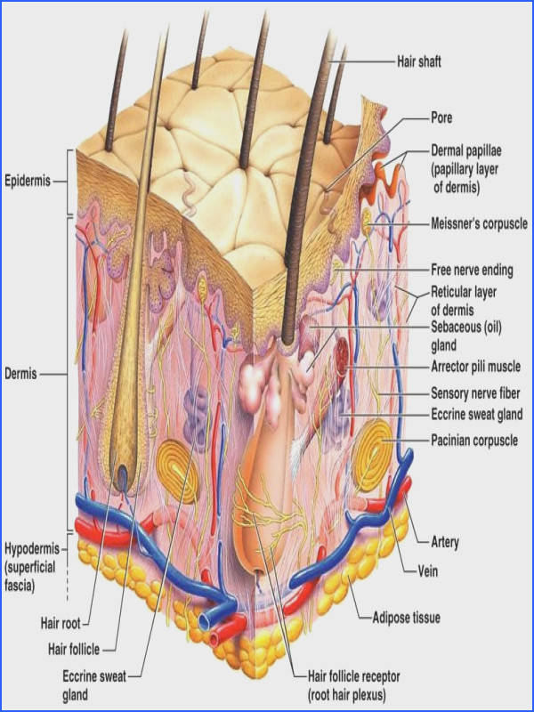 The integumentary system is part of the huan body system