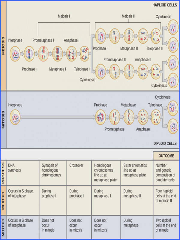 image paring Meiosis and Mitosis