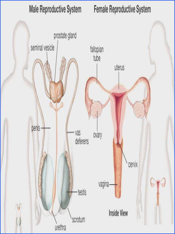 The Reproductive System – ICSE Solutions for Class 10 Biology