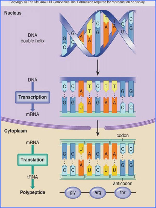 DNA structure and function Genetic Engineering and Cancer