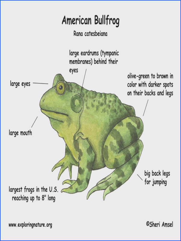 What bullfrogs can eat video